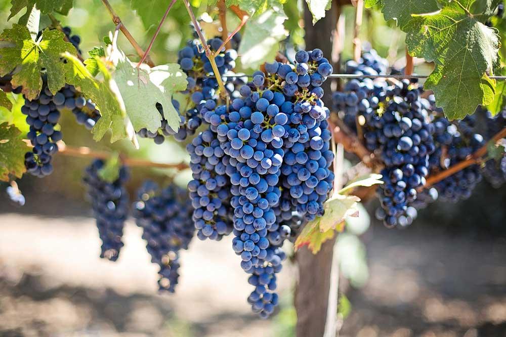 ESTA USA grapes for californian wine